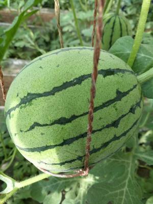 甘肃省武威市凉州区京欣西瓜 有籽 1茬 9成熟 3斤打底
