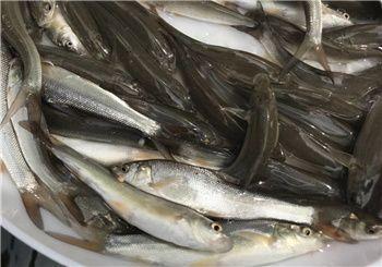广东省江门市开平市淡水银鳕鱼 人工养殖