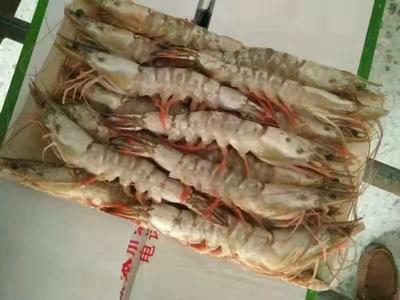辽宁省大连市旅顺口区东方对虾 野生 9钱以上