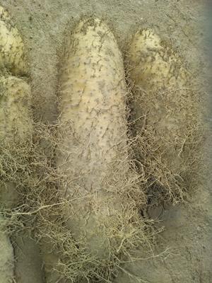 广东省茂名市化州市毛薯 0.5-1斤