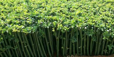 云南省昆明市呈贡区多苞蔷薇
