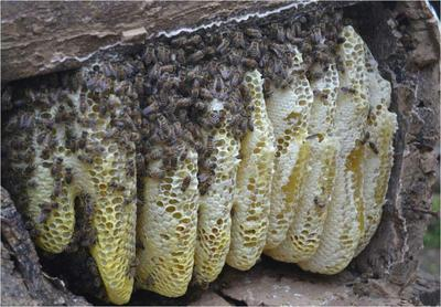 贵州省毕节市纳雍县土蜂