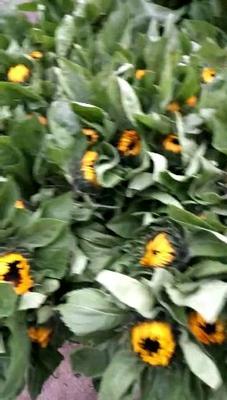 云南省昆明市呈贡区向日葵 1~1.5米