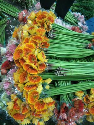 云南省昆明市呈贡区非洲菊