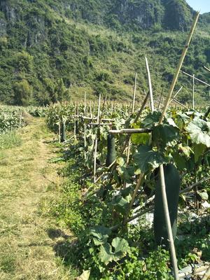 广西壮族自治区南宁市上林县吊冬瓜 20斤以上 黑皮