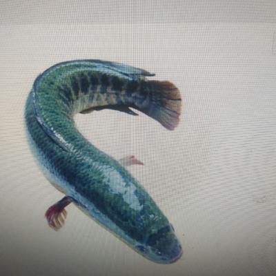 广东省佛山市高明区野生黑鱼 人工养殖 1-1.5公斤