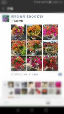 福建省漳州市长泰县金叶三角梅 0.5~1.0米