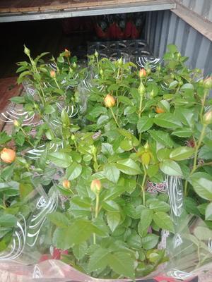 云南省昆明市呈贡区小玫瑰盆栽