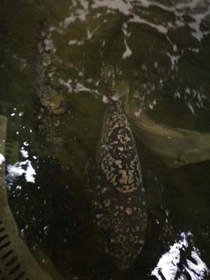 广东省东莞市东莞市石斑鱼龙趸 人工殖养 3-4公斤