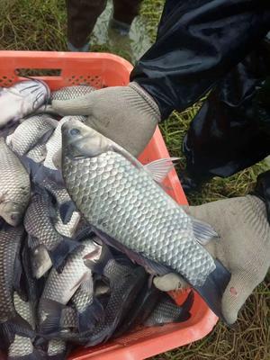 安徽省滁州市来安县池塘鲫鱼 人工养殖 0.25-1公斤