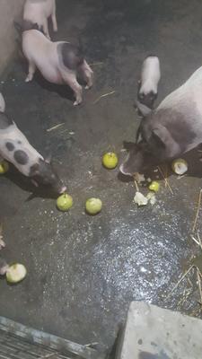 安徽省淮北市杜集区巴马香猪 20-40斤