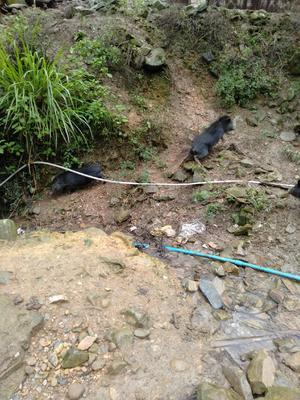 湖南省永州市双牌县藏香猪 60斤以上