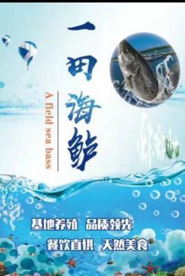 广东省深圳市龙岗区海鲈鱼 人工养殖 0.5公斤以下
