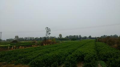 陕西省咸阳市三原县玻璃脆芹菜 70.0cm 露天种植 0.5~1.0斤