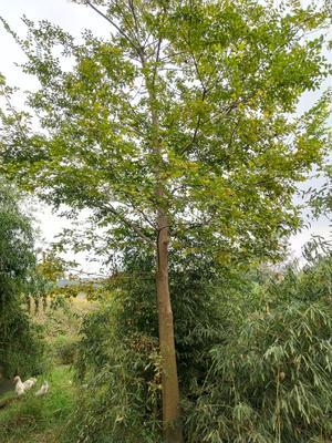 安徽省六安市舒城县南方红豆杉 3.5米~5米