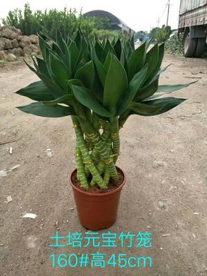 云南省昆明市呈贡区富贵竹笼