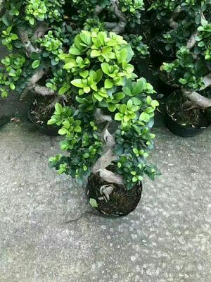 广东省广州市荔湾区人参榕树盆景