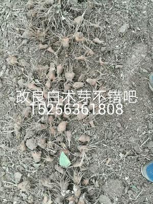 安徽省亳州市谯城区白术