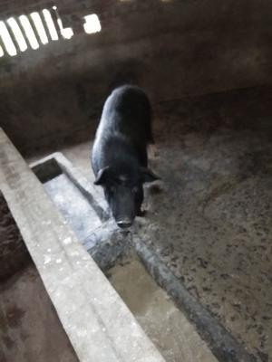 四川省宜宾市高县藏香猪 60斤以上