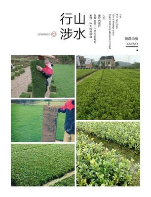 湖南省郴州市苏仙区马尼拉草皮