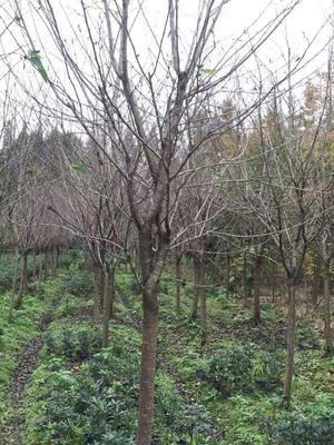 四川省成都市崇州市 冬樱 6~8公分 3.5米~5米