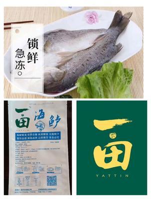 广东省深圳市龙岗区海鲈鱼 人工养殖 1-1.5公斤