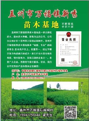 辽宁省营口市盖州市小叶丁香 4cm以下 2cm以下 0.5~1米