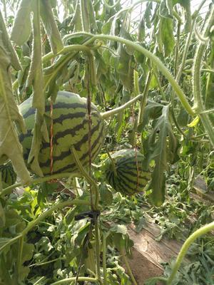 甘肃省武威市凉州区京欣西瓜 有籽 2茬以上 9成熟 4斤打底