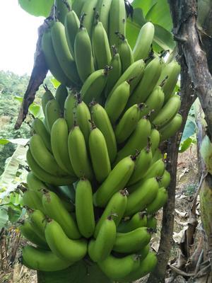 贵州省黔西南布依族苗族自治州册亨县威廉斯香蕉 八成熟