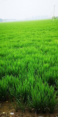江苏省南京市栖霞区粳稻谷 中稻