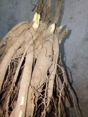 山东省菏泽市牡丹区多花芍药 2~4cm 0.5米以下