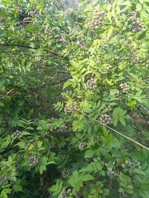 贵州省野生黑莓