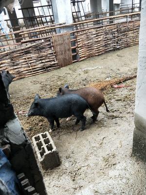 安徽省淮北市濉溪县改良野猪 140斤以上 统货