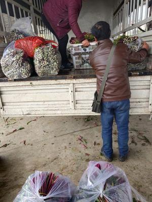 湖北省孝感市汉川市红菜苔 15~20cm