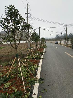 湖南省长沙市岳麓区高杆红叶石楠