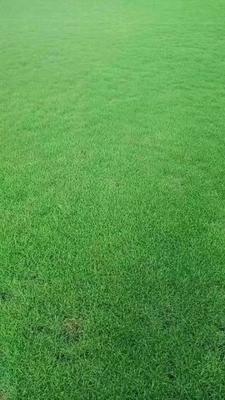 江西省新余市渝水区马尼拉草皮