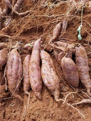 云南省红河哈尼族彝族自治州建水县紫罗兰紫薯 混装通货