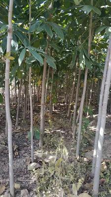 陕西省宝鸡市扶风县七叶树