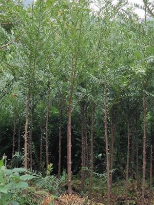 贵州省铜仁市石阡县南方红豆杉 1.5~2米