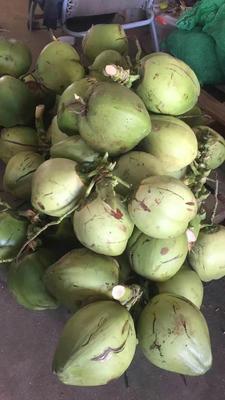 海南省海口市美兰区椰青 6斤以上