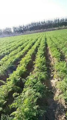 山东省聊城市高唐县日本红星胡萝卜 15cm以上 3两以上 3~4cm