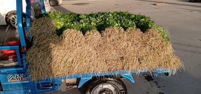 江苏省宿迁市宿城区法国皇后芹菜 55~60cm 大棚种植 0.5斤以下