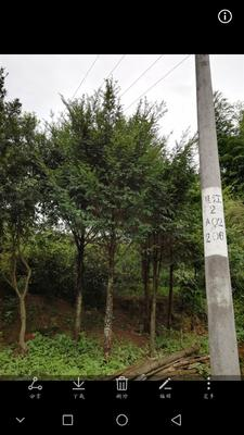 福建省南平市武夷山市南方红豆杉 2.5~3米
