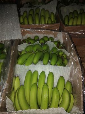 云南省红河哈尼族彝族自治州金平苗族瑶族傣族自治县巴西香蕉 八成熟