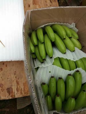 广西壮族自治区南宁市隆安县巴西香蕉 七成熟