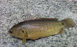 海南省海南省琼海市攀鲈鱼 人工养殖 0.5公斤以下