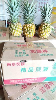 广东省湛江市徐闻县徐闻菠萝 1 - 1.5斤