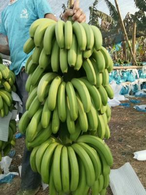 云南省红河哈尼族彝族自治州蒙自市金平香蕉 八成熟