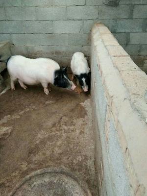 安徽省芜湖市南陵县巴马香猪 20-40斤