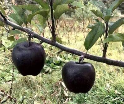 黑钻苹果树苗 1.5~2米